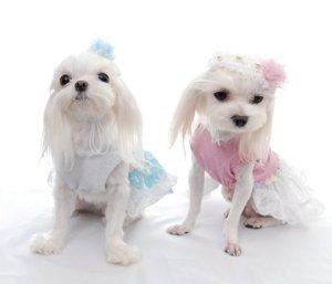 画像2: 愛犬用/レースフラワーヘッドドレス [コカパパ] 2011